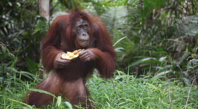 Voices for the Orangutan