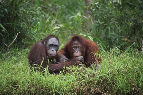 Wild orangutans in Central Kalimantan