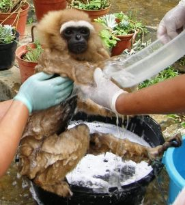 Agile gibbon Melly having a bath after her handover to ASTI