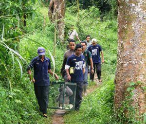 Javan gibbon gelagah being relocated from ASTI to Javan gibbon centre