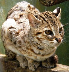 Leopard cat Margo ready to be released