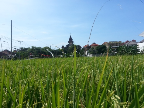 Padi fields in Canggu