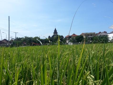 Padi fields in Canggu