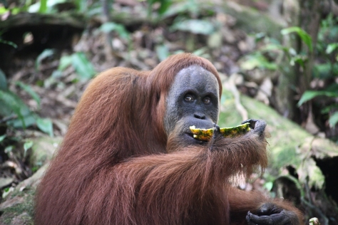 An orangutan in Gunung Leuser National Park